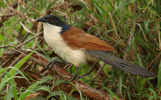 Burchalls Coucal