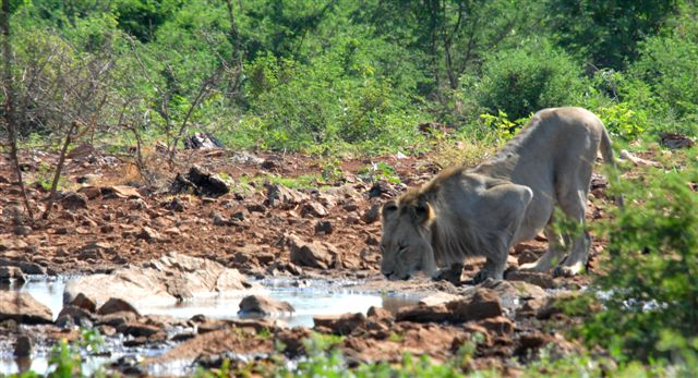 Lion at Waterhole