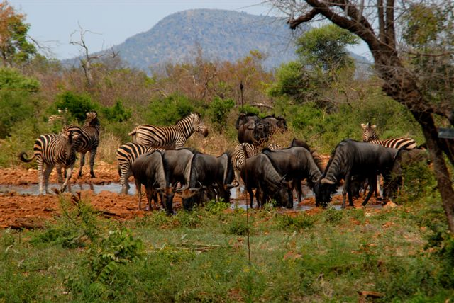 Zebra and Wildebeest (Gnu) at Waterhole